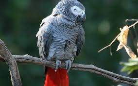 Photo of African Grey Parrots Have Vocabularies of Over 200 Words