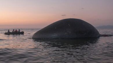 Photo of 75-feet giant blue whale washed up on a beach in Indonesia