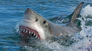 Photo of A man has died after being attacked by a shark off the east coast of Australia, officials say