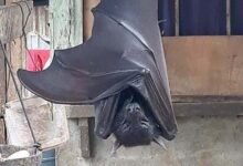 "Photo of Photo of giant ""human-size"" bat is giving people nightmares"